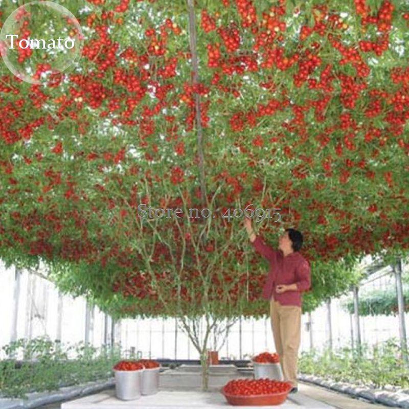 Heirloom Giant Tomato Tree, 100 Seeds,  healthy delicious nutritious edible fruits E3617
