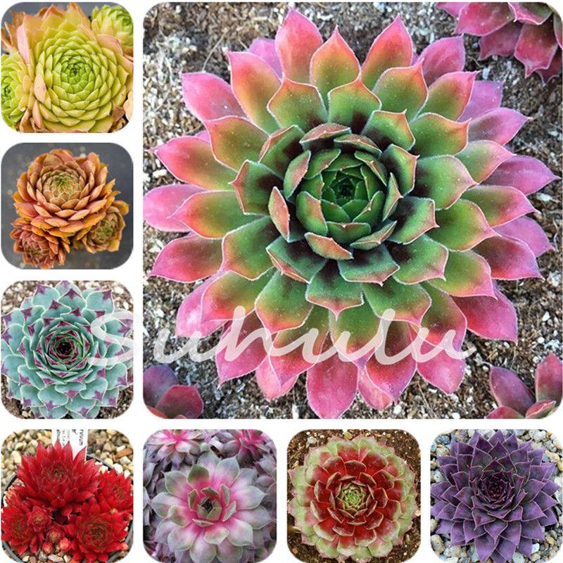Free Shipping 200 Pcs Sale!Hens And Chicks Succulent Mix Seeds (Sempervivum Hybridum) Bonsai Plant Flower Seeds For Home Garden