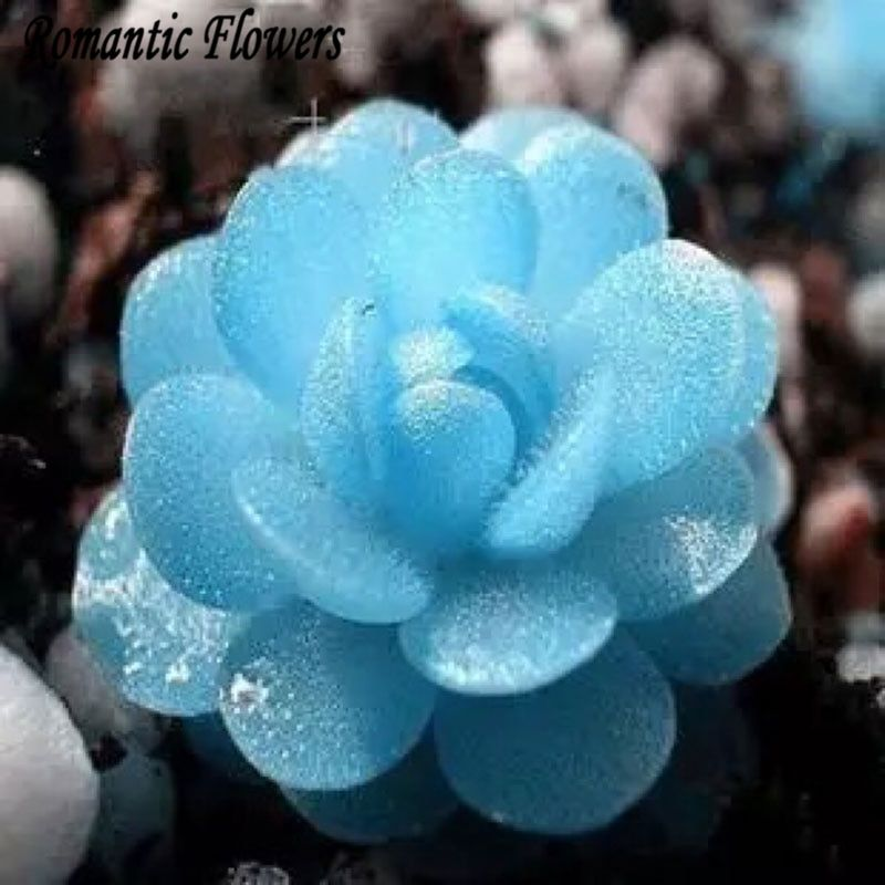 100 Particle/bag Blue Witchford Lithops Seeds Beautiful Flower Seed Pseudotruncatella Seed Perennial For Home Stone Flowers