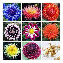 Vrai Couleur De Mélange Dahlia Ampoule Fleur (Pas Dahlia Graines), Bonsaï Bulbes De Fleurs, Symbolise Le Courage Et Chanceux, maison Jardin Plant-2 Ampoule
