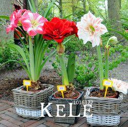 Amaryllis graines, livraison gratuite pas cher Fleur graines, la barbade lily graines en pot, bonsaï fleur, 100 Pièces/sac, # RLGUM5