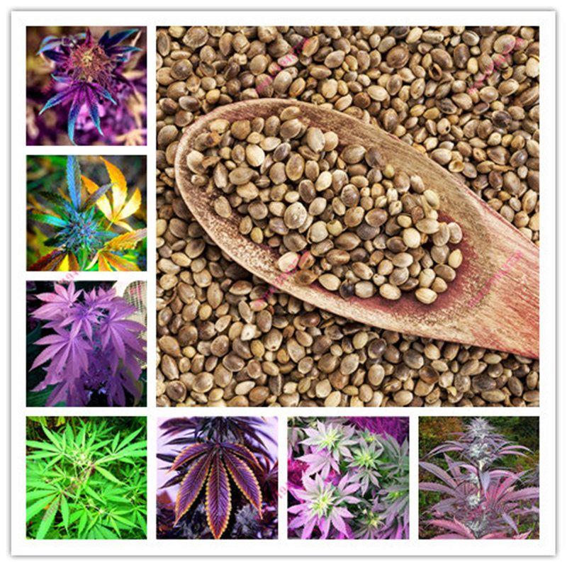 100 Pcs Indian Hemp seeds,Multi Color Flower Seeds,Home Garden Planting Seeds