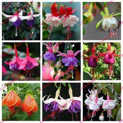 Libérez le bateau Fuchsia graines lanterne fleur balcon intérieur bonsaï semences graines de fleurs, 40 graines