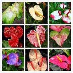 100 pcs Rares Graines De Fleurs Anthurium Graines Anthurium Andraeanu bonsaï Graines de plantes En Pot de Fleurs pour La Maison Jardin