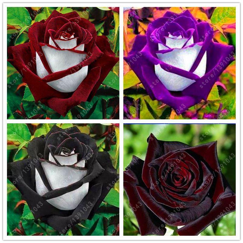 100 pcs/bag black rose seeds beautiful flower seeds indoor or outdoor plant pot garden flowers seeds DIY for home garden