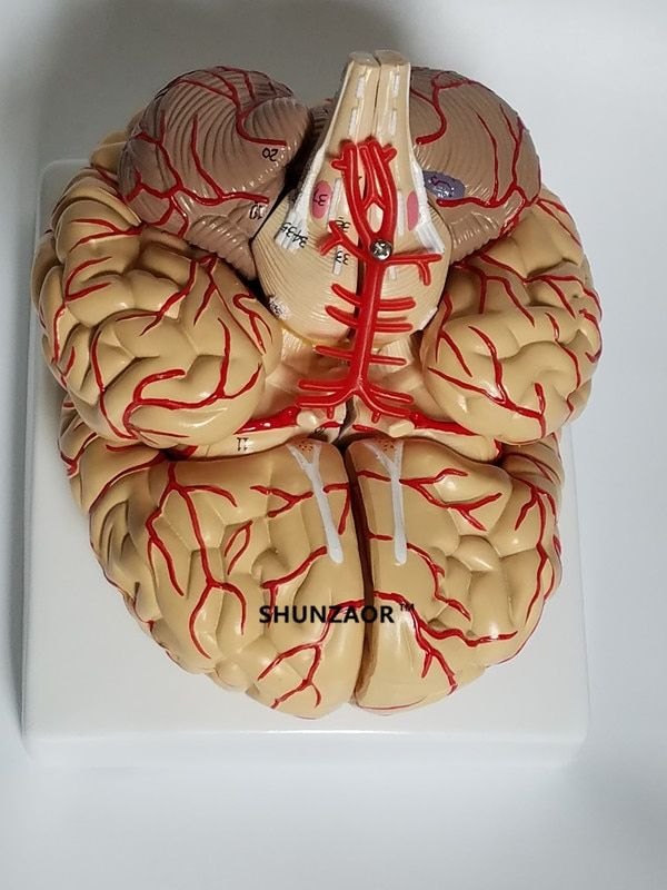 The anatomical brain model arteries 9parts ,42number for learning resource medical student like it
