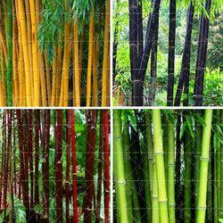40 PCS Bambou Graines Phyllostachys Pubescens Rare Géant Bambou Graines Bambusa Lako Arbre Graines Pour La Maison Jardin Des Plantes
