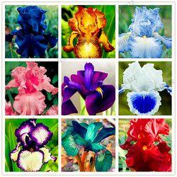 Iris graines, jardin de Vivaces graines de fleurs, bonsaï plante pour l'extérieur, divers couleur, petit, moyen et grand, 100 pcs/sac