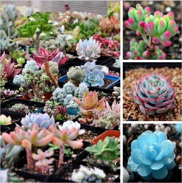 100pcs Mix Succulent seeds Lithops Pseudotruncatella Bonsai plants Seeds for home & garden 49%