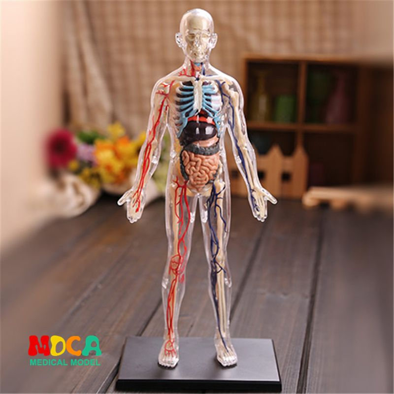 1:6 Translucent person 4d master puzzle Assembling toy human body organ anatomical model medical teaching model