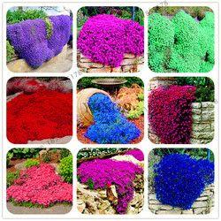Grande vente 205 pcs rare ROCK cresson Graines plante Grimpante Rampante Thym Graines couvre-sol Vivace fleur pour la maison jardin