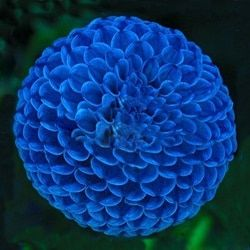 Vente chaude Unique Bleu Boule de Feu Dahlia Graines Belles Graines De Fleurs Plante Vivace 100 Pcs