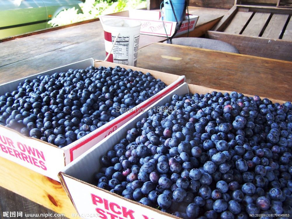 200 american giant blueberry fruit seeds Germination 95%+,rare fruit tree seeds for home garden planting