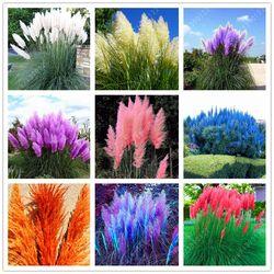 1200 Pcs/paquet PAMPAS HERBE graines, rare reed graines de fleurs pour la maison jardin plantation Selloana Graines Jardin décoration DIY!