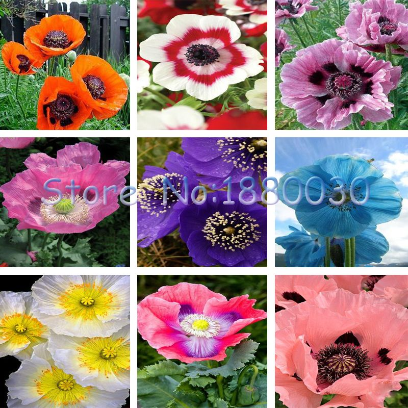200PCS Beautiful 9 different colors of oriental poppy seeds potted bonsai garden plants flower seeds courtyard balcony