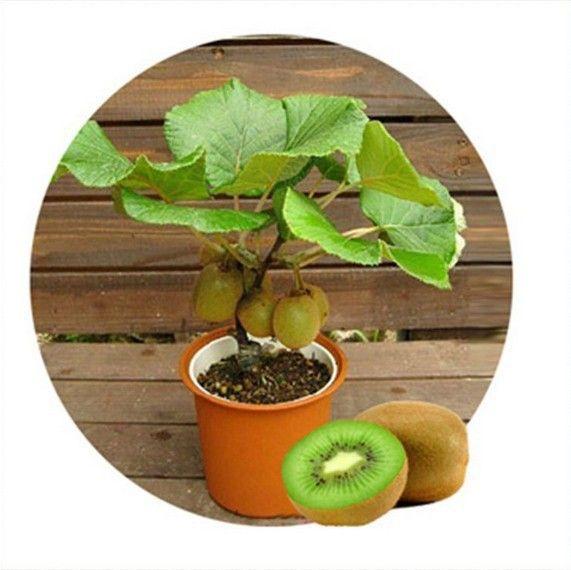 100pcs Kiwi fruit seeds, Thailand Mini Kiwi Fruit Seeds flower, Bonsai plants,delicious mini kiwi Vegetable seeds, free shipping