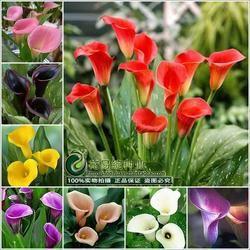 Calla lily fleur semences printemps et d'hiver saisons ensemble un intérieur plante en pot d'herbe la plantation des semences live-10 graines