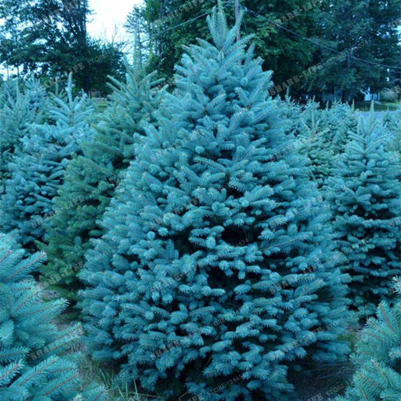 100 Tree Seeds Rare Evergreen Colorado Blue Spruce Seeds PICEA PUNGENS GLAUCA good for growing in pots flower pot planters