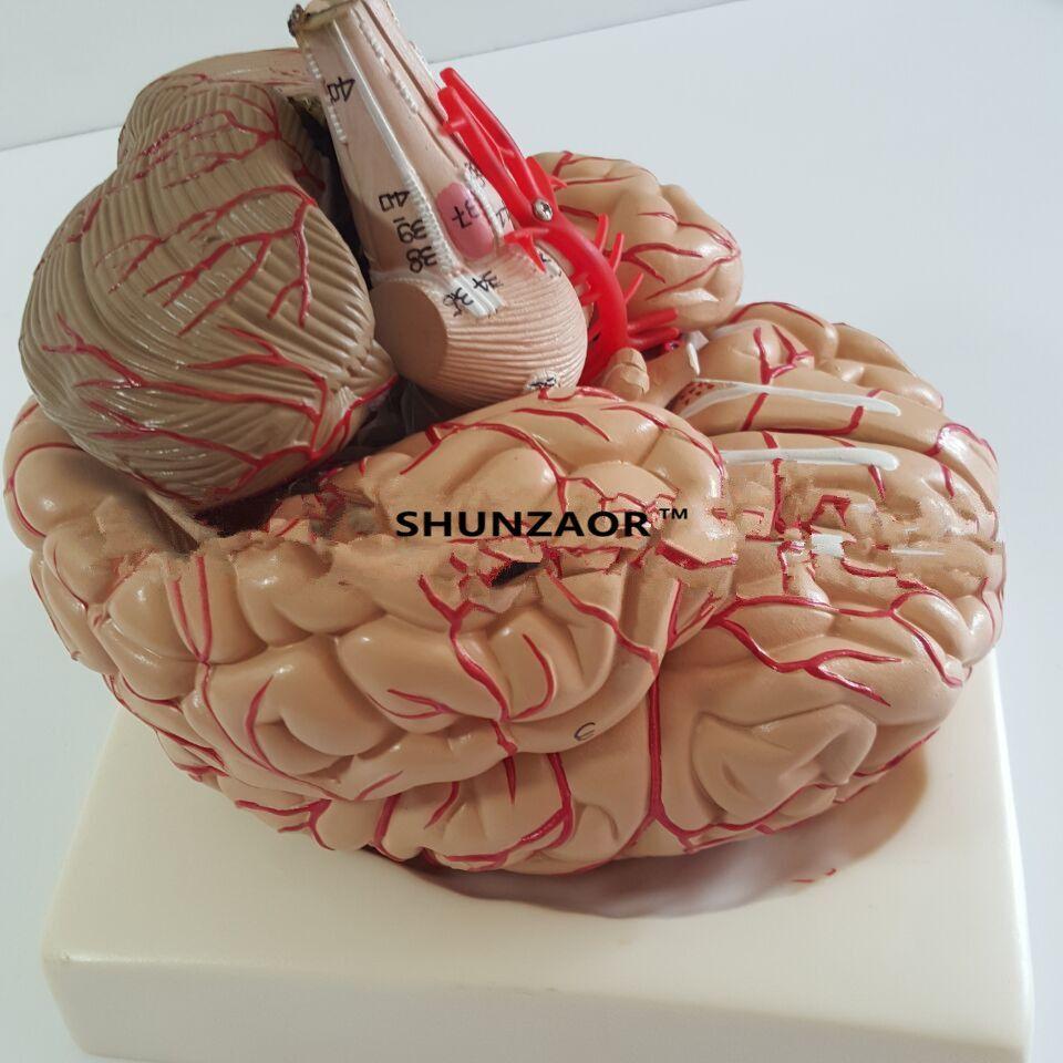 PVC gran cerebro de las arterias del cerebro modelo Médico modelo de anatomía Modelo Anatómico Del Cerebro, con Las Arterias, 9 Piezas, con nummber