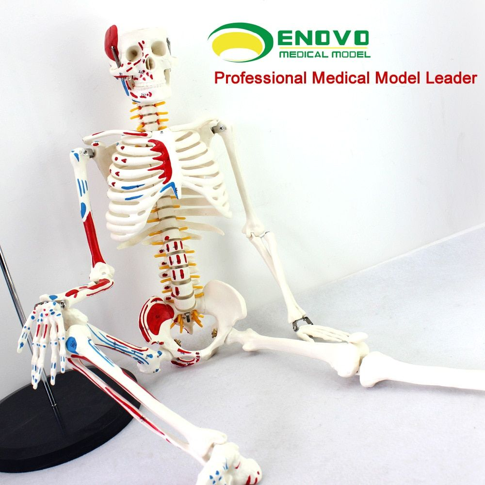 ENOVO Authentic Deluxe 85CM Human Manikin Model with Spinal Cord Model of Medical Skeleton Medical Teaching