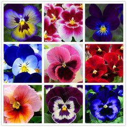 24 couleurs 100 pcs/pack Mexicain pensée graines Ondulés Viola Tricolor Graines De Fleurs bonsaï plante en pot DIY maison & jardin Chaude vente
