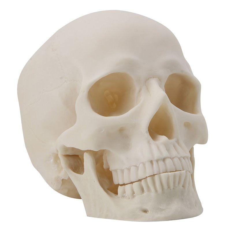 Realistic 1:1 Adult Size Human Skull Replica Resin Art Teaching Model Medical