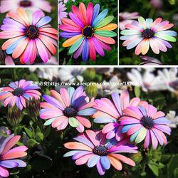 Bonsaï Coloré Marguerite Africaine Osteospermum graines Jardin Graines De Fleurs Balcon Intérieur bureau en pot plantes 30 Particules BU008