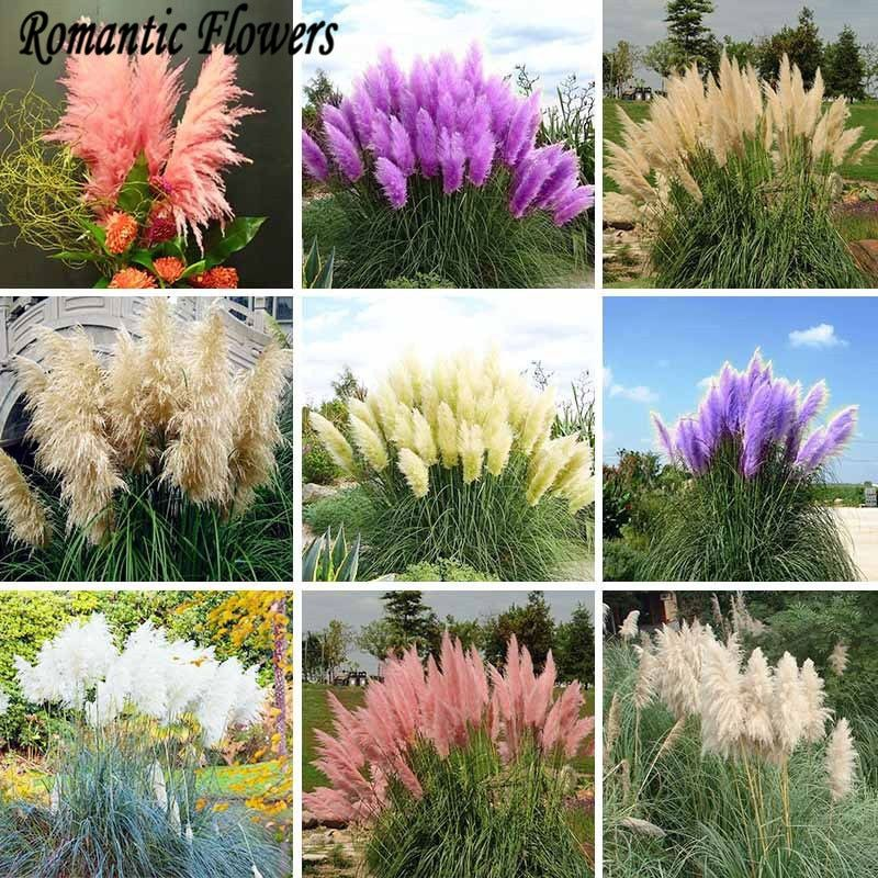 Promotion New Rare Purple Pampas Grass Seeds Ornamental Plant Flowers Cortaderia Selloana Grass Seeds 500 Particle/bag