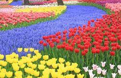1000 PCS de Haute qualité graines de fleurs, parfum tulipe semences, Bonsaï graines, plus belle et coloré tulipe plantes, seulement pour vous