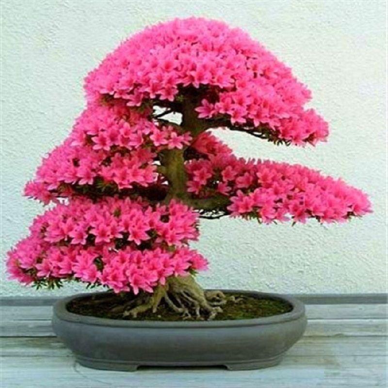 New Arrival  10 seeds  Cerasus sp. Seeds Cherry blossoms  Perennial Flower Seeds for Garden in Bonsai