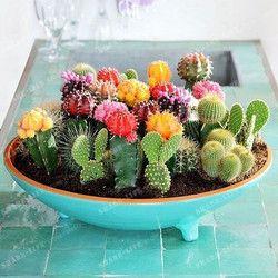 Multiples Plantes Ornementales 100 Mixte Cactus Graines attrayant impressionnant MARSEED 100% NATUREL maison & jardin Bonsaï plantes Semences