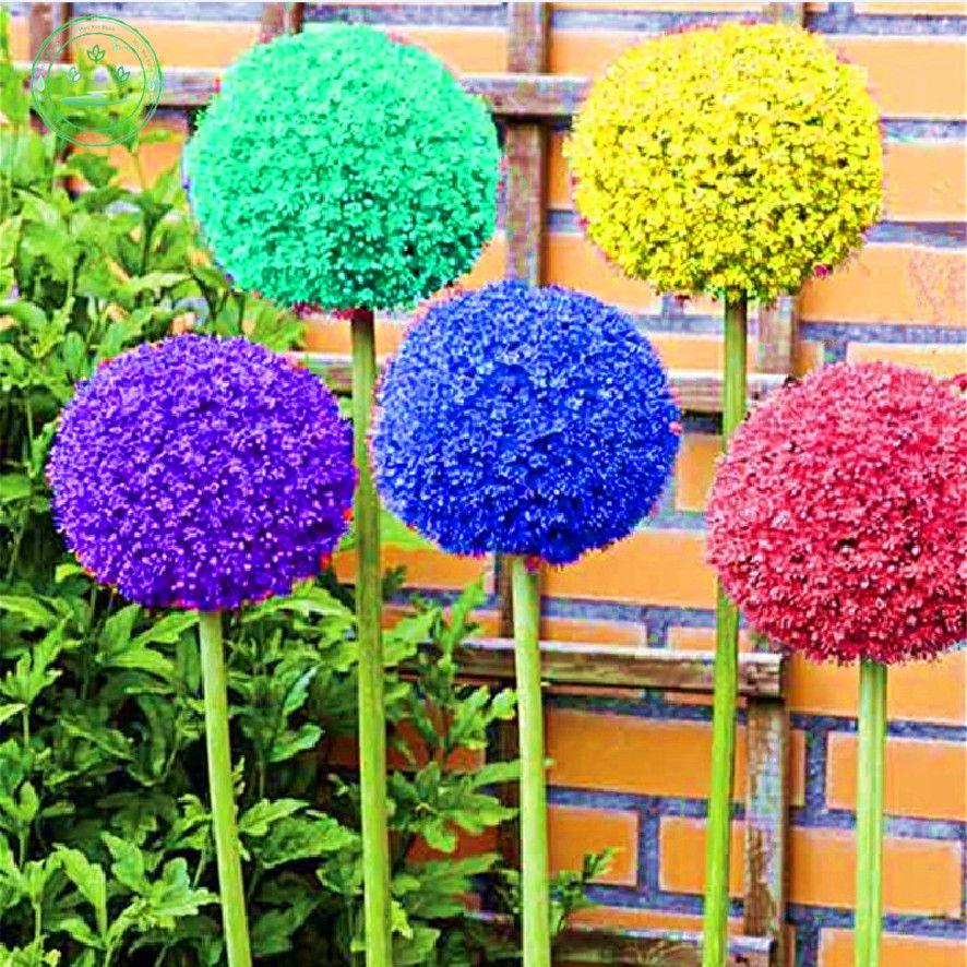150 seed giant Allium giganteum beautiful flower seeds plant garden The grass rate 95% rare flower for children p41