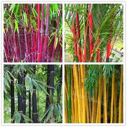 Mélanger couleurs Bambou Graines, Frais Géant Moso Bambou Graines, bonsaï arbre graines, Phyllostachys aureosulcata Maison Jardin 10 graines