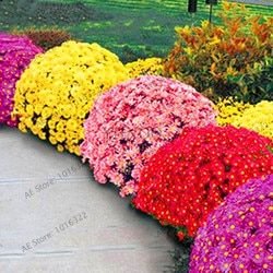Grande Vente! 100 pcs/sac Couvre-sol chrysanthème graines, chrysanthème vivace bonsai graines de fleurs marguerite plante en pot pour la maison ga