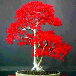 100% Vrai Japonais Rouge D'érable graines Bonsaï Graines Professionnel Pack Très Belle Intérieur Arbre 50 PCS maison jardin plantes