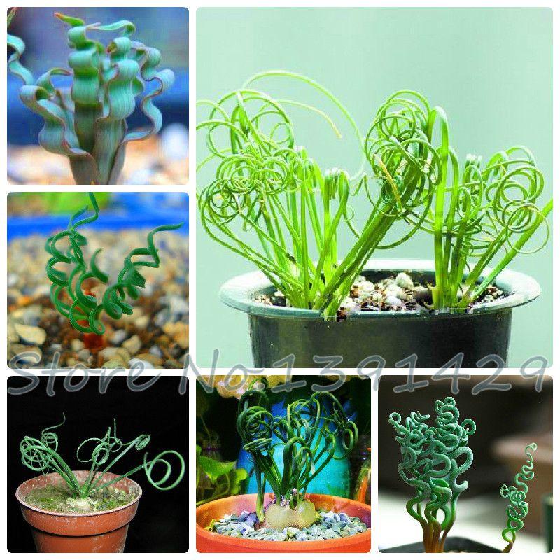 100/bag Sin mankind plants, broad leaf spring grass seeds, succulents, new plants,