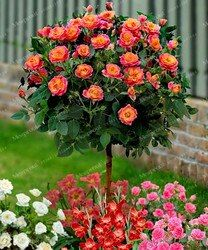 100 pcs Rose Arbre Aromatique Agréable-Odeur Parfumé Bonsaï Graine De Fleur, rose arbre plante Balcon et Cour en pot pour la maison jardin