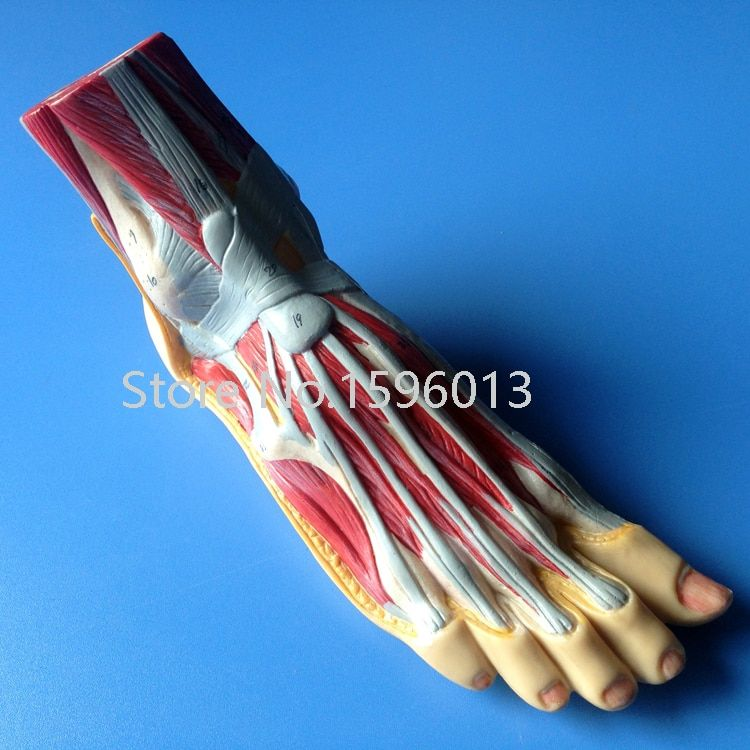 Foot Anatomy Model, Plantar dissection model ,Anatomical Foot Model
