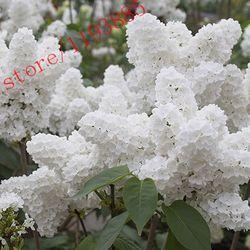 100 pcs Blanc Japonais Lilas Graines (Extrêmement Parfumé) gousse graines de fleurs pour la maison et le jardin