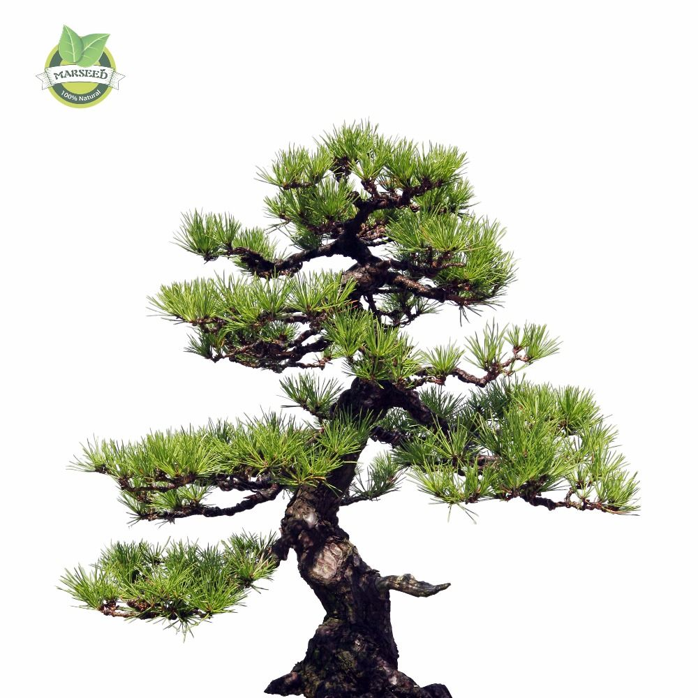 35pcs/Bag Japanese Pine Tree Seeds bonsai flower easy growing  DIY home garden bonsia Free Shipping