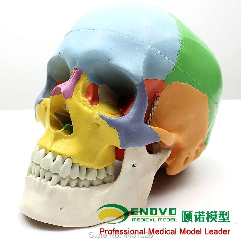 ENOVO Medical human.skull model 1:1 simulation of craniofacial maxillofacial cosmetic whole head model
