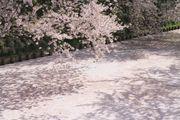 青森弘前公園強風吹拂 賞櫻吹雪 遊特色星巴克 品嚐特色特飲