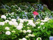 栃木縣的黒羽城址公園 6月20日~7月12日期間,將舉辦「黑羽紫陽花祭」一邊...