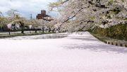 東北弘前櫻花情報 最佳賞花好去處 櫻花散下形成華麗的櫻花河