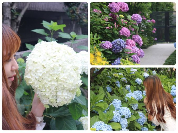 繡球花季 | 日本東京都內賞花必到「白山神社」