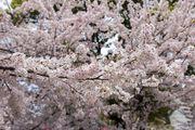 名古屋 櫻花情報 景點介紹 鶴舞公園 千二株櫻花 吸引無數遊客
