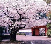 佐賀櫻花秘點 鹿島城跡 櫻花名所 歷史城跡為中心滿佈許多櫻花