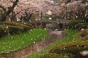 金澤市 賞櫻景 名園兼六園 庭園內花木造景配上櫻花之美 令人驚艷