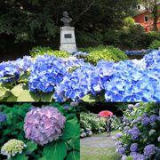 長崎紫陽花祭 雨季時節迎來紫陽花季 約5000株花朵盛開