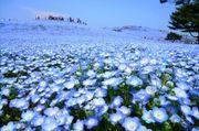 日本茨城縣日立海濱公園四季如畫! 春天尤其四月下旬至五月就有大片藍紫色...